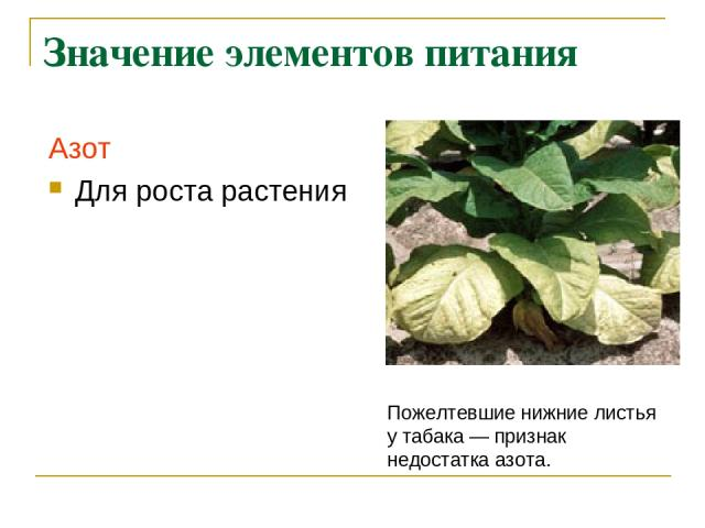 Значение элементов питания Азот Для роста растения Пожелтевшие нижние листья у табака— признак недостатка азота.