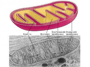 Условия: Участие ферментов Участие молекул-переносчиков Наличие кислорода Целост