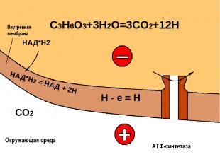 СО2 Н = е + Н О2 + 4Н = 2 Н2О + О2 200 мВ АДФ Н3РО4 АТФ + + + + + + + + + + + +