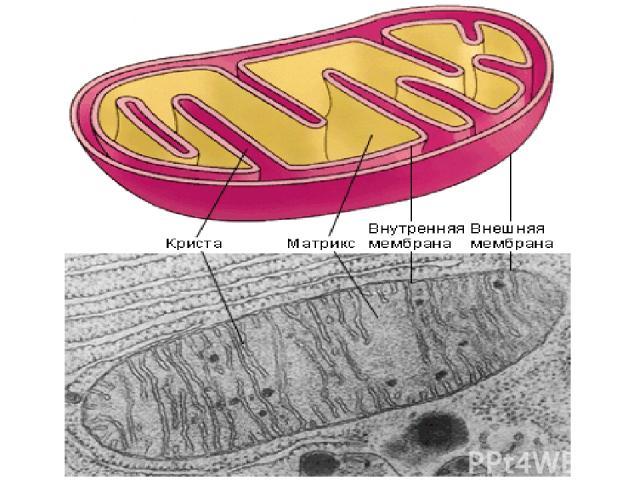 Условия: Участие ферментов Участие молекул-переносчиков Наличие кислорода Целостность митохондриальных мембран