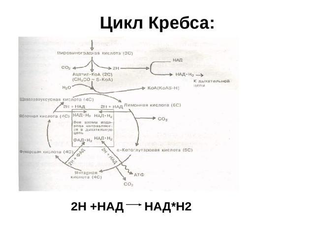 НАД*Н2 = НАД + 2Н СО2 О2 + + + + + + + + + + + + Н Н Н Н Н Н Н Н Н Н Н Н Н + Н - е = Н - О2 + е =О2 НАД*Н2 C3H6O3+3H2O=3CO2+12H +