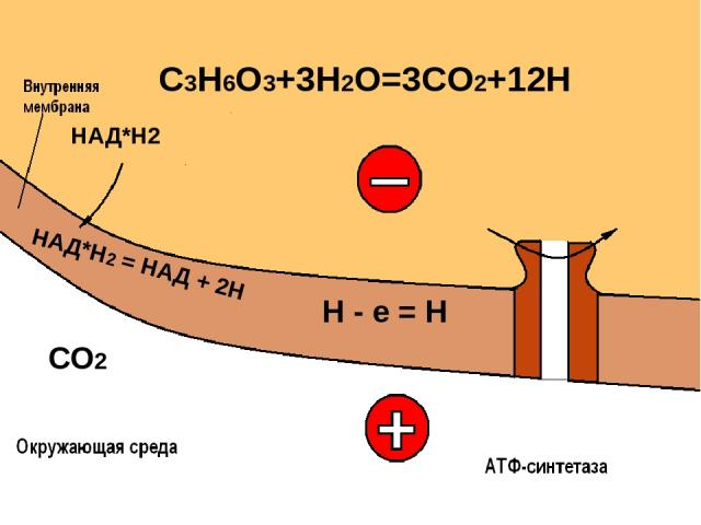 СО2 Н = е + Н О2 + 4Н = 2 Н2О + О2 200 мВ АДФ Н3РО4 АТФ + + + + + + + + + + + + + + + + + + Н Н Н Н Н Н Н Н Н Н Н Н Н Н Н Н Н Н Н Н Н Н Н + + + + - + - + - НАД*Н2 = НАД + 2Н НАД*Н2 C3H6O3+3H2O=3CO2+12H О2 + е =О2 -