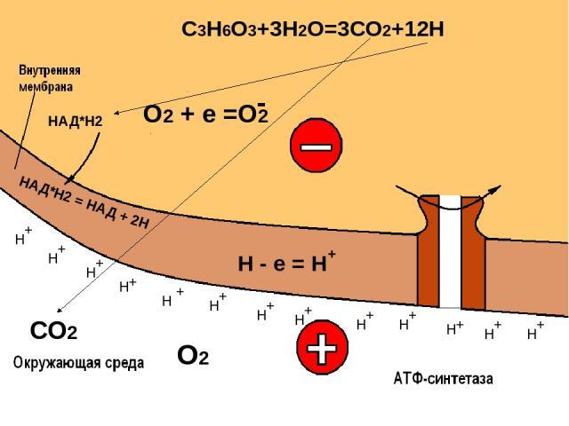 Выделение энергии: 2600 кДж - на 2 моля С3Н6О3 45% Рассеивается в виде тепла Сберегается в виде АТФ 55%