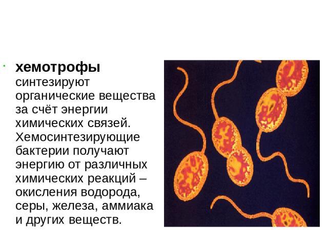хемотрофы синтезируют органические вещества за счёт энергии химических связей. Хемосинтезирующие бактерии получают энергию от различных химических реакций – окисления водорода, серы, железа, аммиака и других веществ.