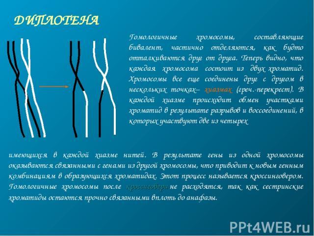 ДИПЛОТЕНА Гомологичные хромосомы, составляющие бивалент, частично отделяются, как будто отталкиваются друг от друга. Теперь видно, что каждая хромосома состоит из двух хроматид. Хромосомы все еще соединены друг с другом в нескольких точках– хиазмах …