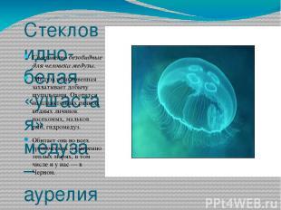 Стекловидно-белая «ушастая» медуза – аурелия Совершенно безобидные для человека