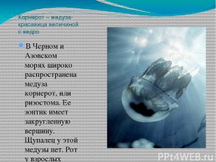 Корнерот – медуза-красавица величиной с ведро В Черном и Азовском морях широко р