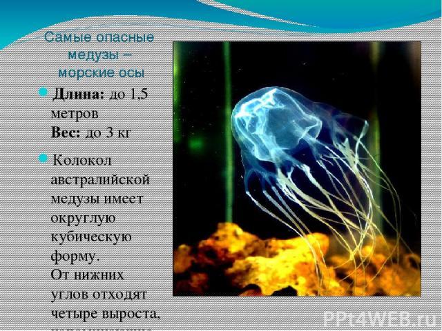 Самые опасные медузы – морские осы Длина: до 1,5 метров Вес: до 3 кг Колокол австралийской медузы имеет округлую кубическую форму. Отнижних углов отходят четыре выроста, напоминающие «руки». Каждая рука делится нанесколько пальцев, скоторых свиса…