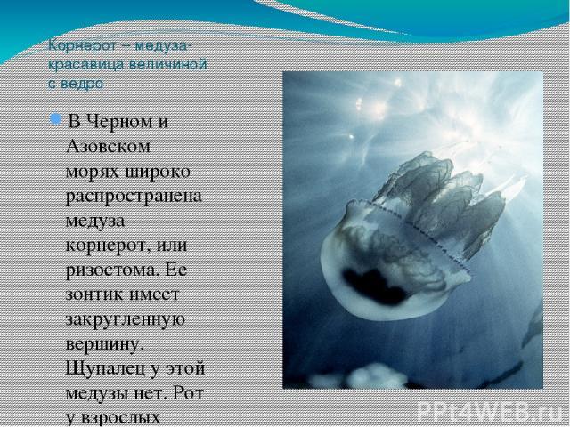 Корнерот – медуза-красавица величиной с ведро В Черном и Азовском морях широко распространена медуза корнерот, или ризостома. Ее зонтик имеет закругленную вершину. Щупалец у этой медузы нет. Рот у взрослых корнеротов зарастает, и его роль выполняют …