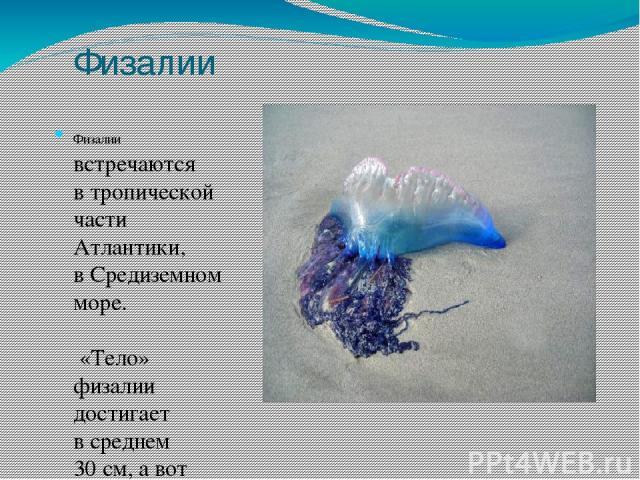 Физалии Физалии встречаются втропической части Атлантики, вСредиземном море. «Тело» физалии достигает всреднем 30см, авот щупальца могут быть разного размера. Вцентре тела физалии находится плавательный пузырь, наполненный газом. Спомощью нег…