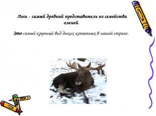 Лось - самый древний представитель из семейства оленей. Это самый крупный вид ди