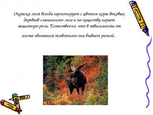 Окраска лося всегда гармонирует с цветом коры вековых деревьев смешанного леса и