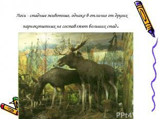 Лоси - стадные животные, однако в отличие от других парнокопытных не составляют