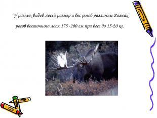 У разных видов лосей размер и вес рогов различны Размах рогов восточного лося 17