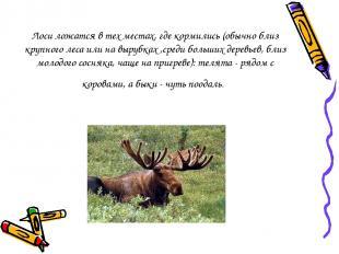 Лоси ложатся в тех местах, где кормились (обычно близ крупного леса или на выруб