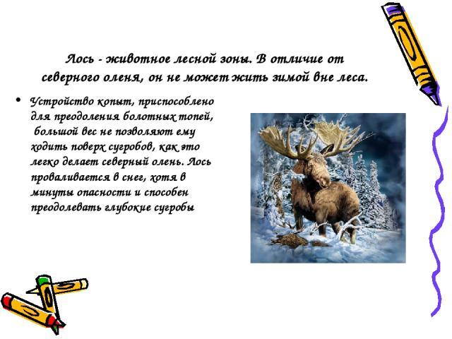Лось - животное лесной зоны. В отличие от северного оленя, он не может жить зимой вне леса. Устройство копыт, приспособлено для преодоления болотных топей, большой вес не позволяют ему ходить поверх сугробов, как это легко делает северный олень. Лос…