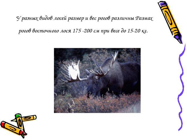 У разных видов лосей размер и вес рогов различны Размах рогов восточного лося 175 -200 см при весе до 15-20 кг.