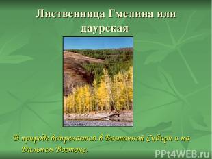 Лиственница Гмелина или даурская В природе встречается в Восточной Сибири и на Д