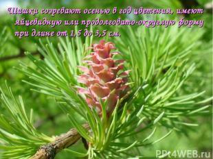 Шишки созревают осенью в год цветения, имеют яйцевидную или продолговато-округлу
