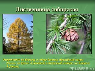 Лиственница сибирская Встречается на востоке и северо-востоке европейской части