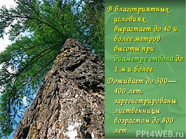 В благоприятных условиях вырастает до 40 и более метров высоты при диаметре ствола до 1м и более. Доживает до 300—400 лет, зарегистрированы лиственницы возрастом до 800 лет.