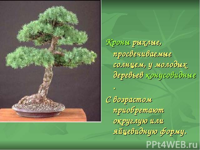 Кроны рыхлые, просвечиваемые солнцем, у молодых деревьев конусовидные. С возрастом приобретают округлую или яйцевидную форму.