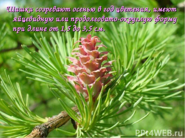 Шишки созревают осенью в год цветения, имеют яйцевидную или продолговато-округлую форму при длине от 1,5 до 3,5см.