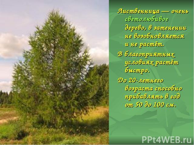 Лиственница— очень светолюбивое дерево, в затенении не возобновляется и не растёт. В благоприятных условиях растёт быстро. До 20-летнего возраста способно прибавлять в год от 50 до 100см.
