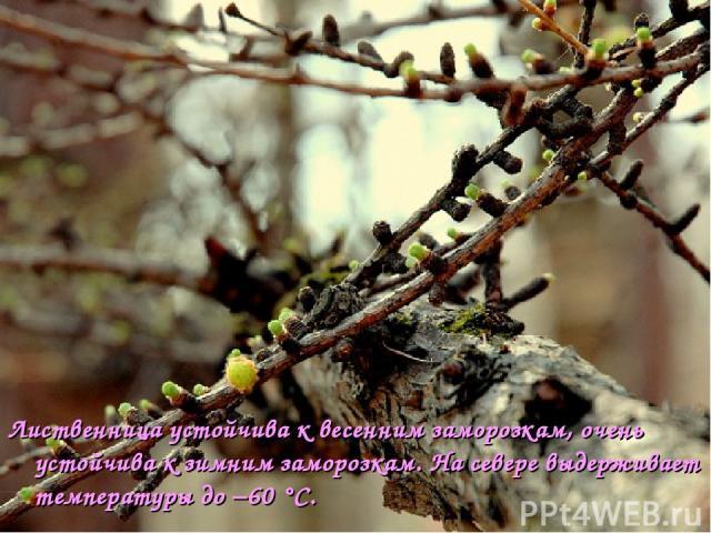 Лиственница устойчива к весенним заморозкам, очень устойчива к зимним заморозкам. На севере выдерживает температуры до −60°C.
