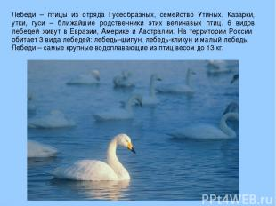 Лебеди – птицы из отряда Гусеобразных, семейство Утиных. Казарки, утки, гуси – б