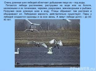 Очень длинная шея лебедей облегчает добывание пищи из – под воды. Питаются лебед