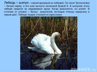 Лебедь – шипун – самый красивый из лебедей. Он носит белоснежно – белый наряд, а