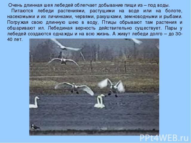 Очень длинная шея лебедей облегчает добывание пищи из – под воды. Питаются лебеди растениями, растущими на воде или на болоте, насекомыми и их личинками, червями, ракушками, земноводными и рыбами. Погружая свою длинную шею в воду, Птицы обрывают там…