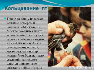 Кольцевание птиц Птице на лапку надевают кольцо с номером и надписью «Москва». В