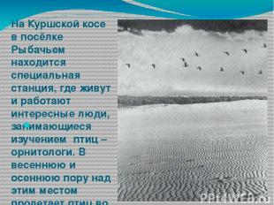 На Куршской косе в посёлке Рыбачьем находится специальная станция, где живут и р