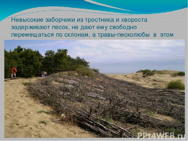 Невысокие заборчики из тростника и хвороста задерживают песок, не дают ему свободно перемещаться по склонам, а травы-песколюбы в этом большие помощники. Их корни скрепляют почву. Нелёгкий это труд– усмирять подвижные пески.
