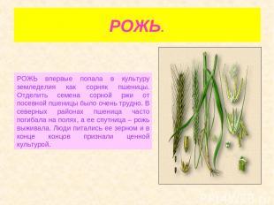 РОЖЬ. РОЖЬ впервые попала в культуру земледелия как сорняк пшеницы. Отделить сем