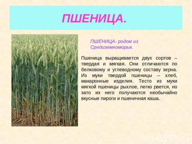 ПШЕНИЦА. ПШЕНИЦА- родом из Средиземноморья. Пшеница выращивается двух сортов – твердая и мягкая. Они отличаются по белковому и углеводному составу зерна. Из муки твердой пшеницы – хлеб, макаронные изделия. Тесто из муки мягкой пшеницы рыхлое, легко …