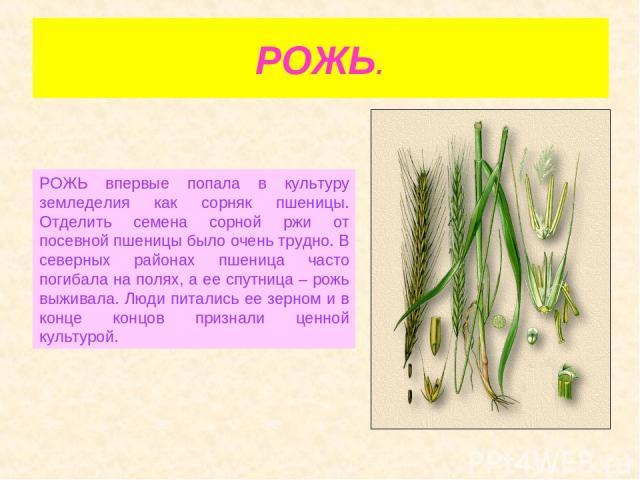 РОЖЬ. РОЖЬ впервые попала в культуру земледелия как сорняк пшеницы. Отделить семена сорной ржи от посевной пшеницы было очень трудно. В северных районах пшеница часто погибала на полях, а ее спутница – рожь выживала. Люди питались ее зерном и в конц…