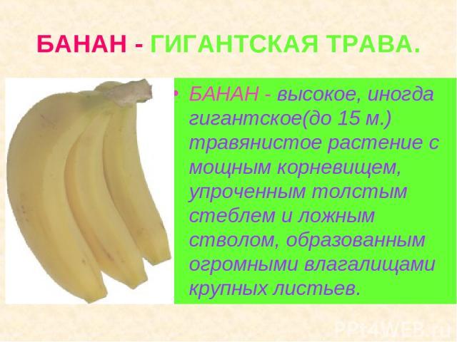 БАНАН - ГИГАНТСКАЯ ТРАВА. БАНАН - высокое, иногда гигантское(до 15 м.) травянистое растение с мощным корневищем, упроченным толстым стеблем и ложным стволом, образованным огромными влагалищами крупных листьев.