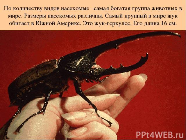 По количеству видов насекомые –самая богатая группа животных в мире. Размеры насекомых различны. Самый крупный в мире жук обитает в Южной Америке. Это жук-геркулес. Его длина 16 см.