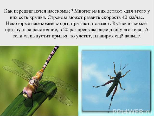 Как передвигаются насекомые? Многие из них летают -для этого у них есть крылья. Стрекоза может развить скорость 40 км/час. Некоторые насекомые ходят, прыгают, ползают. Кузнечик может прыгнуть на расстояние, в 20 раз превышающее длину его тела . А ес…