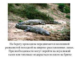 На берегу крокодилы передвигаются неспешной развалистой походкой на широко расст
