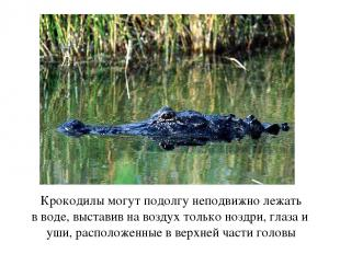 Крокодилы могут подолгу неподвижно лежать в воде, выставив на воздух только нозд