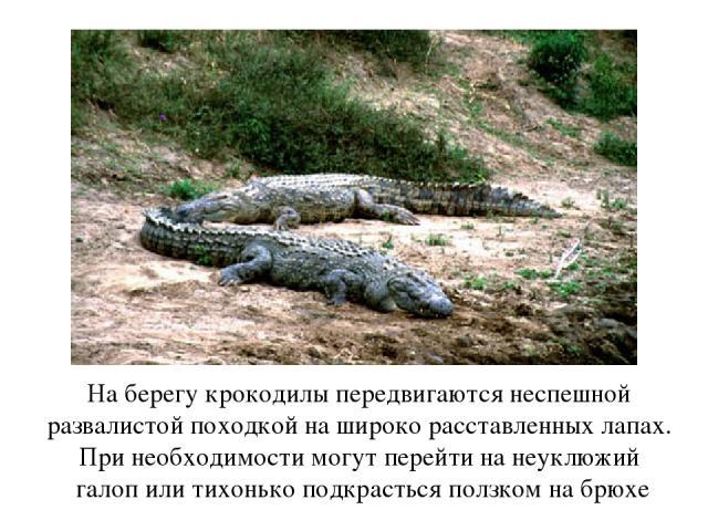 На берегу крокодилы передвигаются неспешной развалистой походкой на широко расставленных лапах. При необходимости могут перейти на неуклюжий галоп или тихонько подкрасться ползком на брюхе