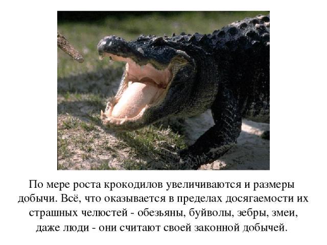 По мере роста крокодилов увеличиваются и размеры добычи. Всё, что оказывается в пределах досягаемости их страшных челюстей - обезьяны, буйволы, зебры, змеи, даже люди - они считают своей законной добычей.