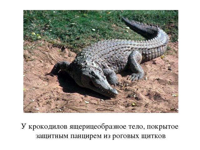 У крокодилов ящерицеобразное тело, покрытое защитным панцирем из роговых щитков