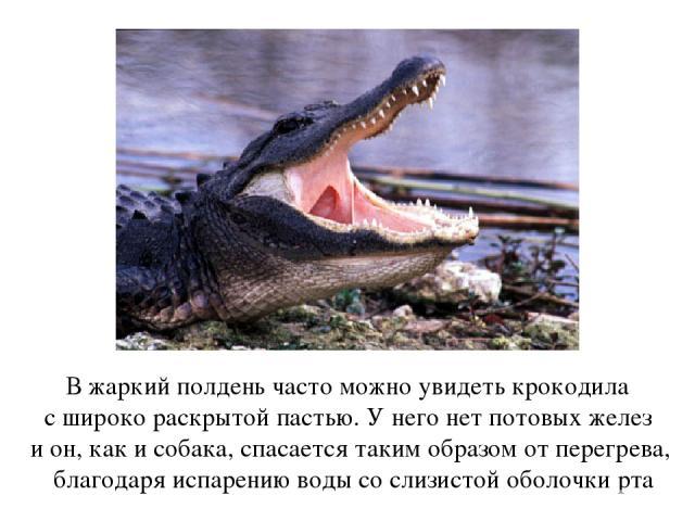 В жаркий полдень часто можно увидеть крокодила с широко раскрытой пастью. У него нет потовых желез и он, как и собака, спасается таким образом от перегрева, благодаря испарению воды со слизистой оболочки рта