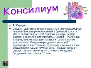 4. Сердце. Сердце – двигатель крови в организме. Это трехкамерный мышечный орган