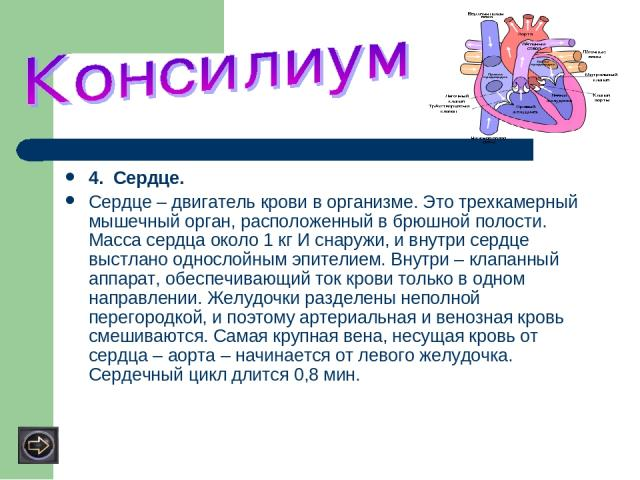 4. Сердце. Сердце – двигатель крови в организме. Это трехкамерный мышечный орган, расположенный в брюшной полости. Масса сердца около 1 кг И снаружи, и внутри сердце выстлано однослойным эпителием. Внутри – клапанный аппарат, обеспечивающий ток кров…